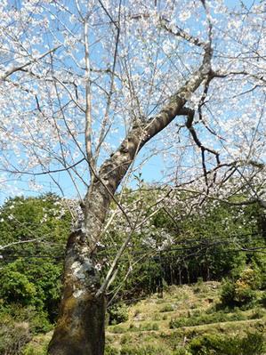 2010年大泊桜 002.jpg
