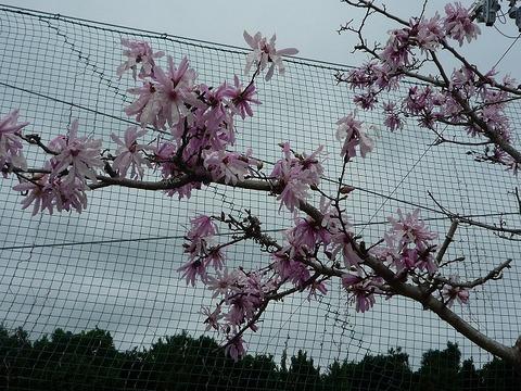 s-2010年3月8日木蓮、桜 001.jpg