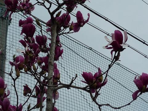 s-2010年3月8日木蓮、桜 002.jpg