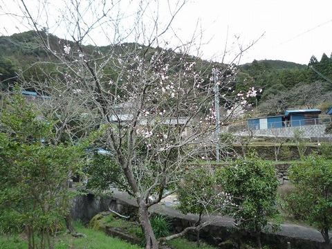 s-2010年3月8日木蓮、桜 007.jpg