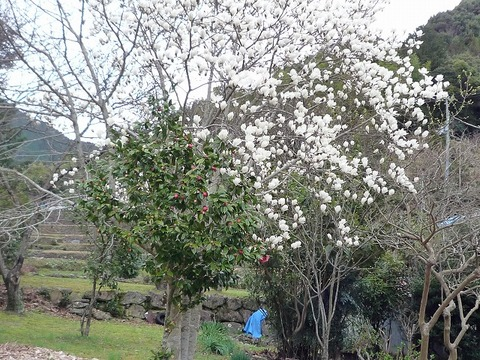 s-2010年3月8日木蓮、桜 009.jpg