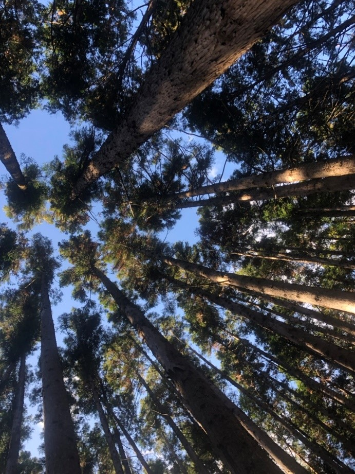 大丹倉の木